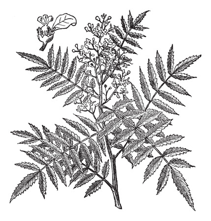 pimento: Schine soft (Schinus molle) or Peruvian Pepper or American pepper or Peruvian peppertree or escobilla or false pepper or peppercorn tree or Californian pepper tree or pirul, vintage engraved illustration.Trousset encyclopedia (1886 - 1891).
