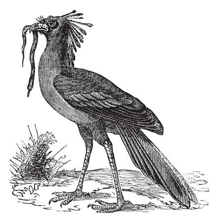 captured: Secretarybird or Sagittarius serpentarius or Secretary Bird, vintage engraving. Old engraved illustration of Secretarybird with captured prey in the mouth.