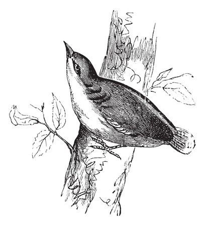Eurasian Nuthatch or Sitta europaea or Nuthatch, vintage engraving.  Old engraved illustration of Eurasian Nuthatch waiting on a branch.