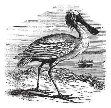 eurasian: Eurasian Spoonbill or Platalea leucorodia or Common Spoonbill, vintage engraving. Old engraved illustration of Eurasian Spoonbill.