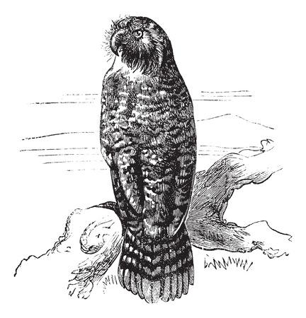 owl illustration: Kakapo or Strigops habroptila or Owl parrot, vintage engraving.  Old engraved illustration of Kakapo waiting on a branch.