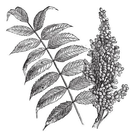 Smooth sumac (Rhus glabra), vintage engraved illustration. Fresh Sumac leaves and berries on white. Trousset encyclopedia (1886 - 1891). Vector