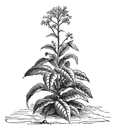 Tabaco (Nicotiana tabacum), añada una ilustración grabada. Trousset enciclopedia (1886 - 1891). Ilustración de vector