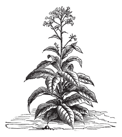 Tobacco (Nicotiana tabacum), vintage engraved illustration. Trousset encyclopedia (1886 - 1891).