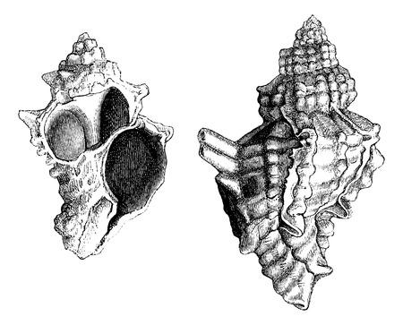 gastropod: Banded Dye-murex or Murex trunculus or Hexaplex trunculus, source of the Phoenician purple dye of Sidon, vintage engraved illustration. Le Tour du Monde, Travel Journal, 1881