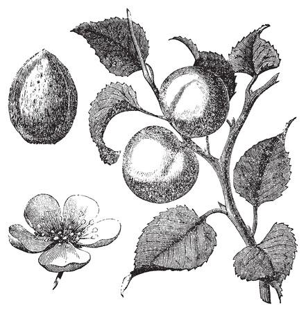 ilustracion: Ejemplo del vintage de un albaricoquero, mostrando también la semilla de albaricoque y flores. Vector rastreo en curso de una exploración de un grabado de Trousset enciclopedia, 1886 - 1891 Vectores