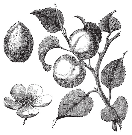 apricot kernel: Vintage illustration of an apricot tree, also showing the apricot kernel and flower. Vector live trace from a scan of an engraving from Trousset Encyclopedia, 1886 - 1891