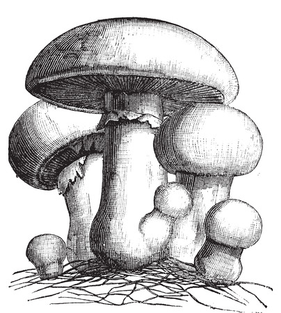 spores: Agaricus campestris or meadow mushroom engraving. Old vintage illustration. Also called field mushroom. A widely eaten edible gilled mushroom.