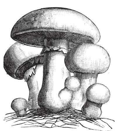 Agaricus campestris or meadow mushroom engraving. Old vintage illustration. Also called field mushroom. A widely eaten edible gilled mushroom.