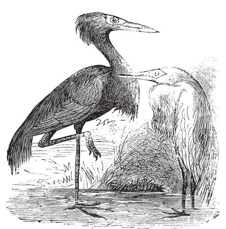 reddish: Engraving of a Reddish Egret (ardea rufa or Egretta rufescens). Old vintage engraved illustration of the reddish egret or heron in his environment. Illustration