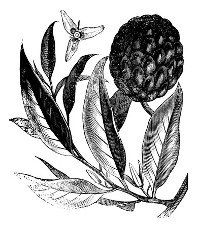 anona: Annona reticulata or custard-apple vintage engraving