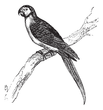 macaw: The Blue-and-Yellow Macaw, Ara ararauna, Blue-and-gold macaw or simply Macaw vintage engraving. Old engraved illustration of a Blue-and-Yellow Macaw sitting on a tree branch.