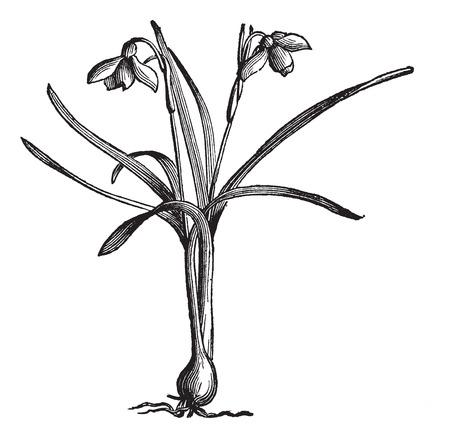 Snowdrop or Galanthus nivalis, vintage engraved illustration. Trousset encyclopedia (1886 - 1891). Ilustração