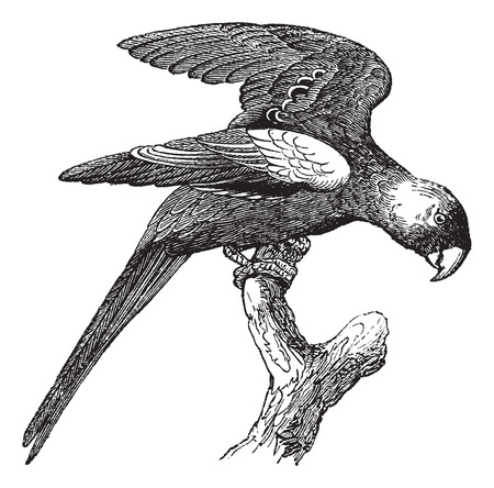 parakeet: Carolina Parakeet or Conuropsis carolinensis, vintage engraved illustration. Trousset encyclopedia (1886 - 1891).