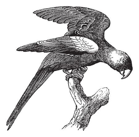 ornithological: Carolina Parakeet or Conuropsis carolinensis, vintage engraved illustration. Trousset encyclopedia (1886 - 1891).