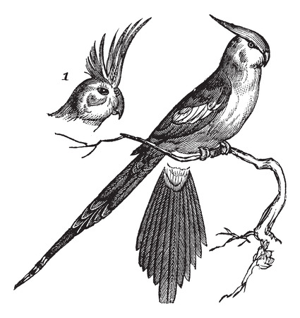 cockatoo: Cockatiel or Quarrion or Weiro or Nymphicus hollandicus, vintage engraved illustration. Trousset encyclopedia (1886 - 1891).
