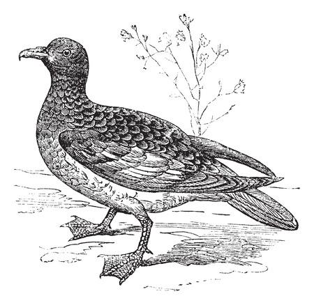 seabird: Cape Petrel or Cape Pigeon or Daption capense, vintage engraved illustration. Trousset encyclopedia (1886 - 1891).