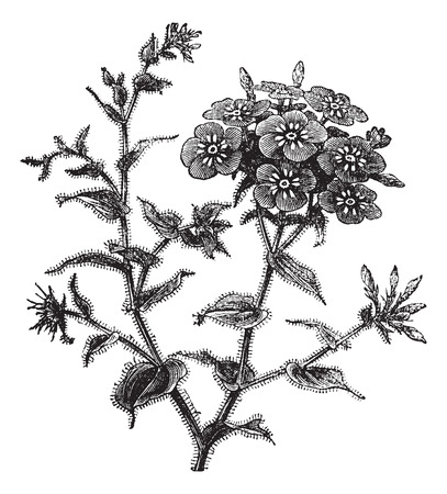 Phlox drummondii, vintage engraved illustration.Trousset encyclopedia (1886 - 1891).