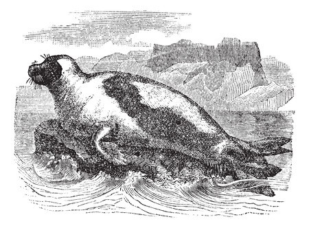 floe: Harp seals (Phoca groenlandica) or Saddleback seal, vintage engraved illustration. Harp Seal on Ice floe. Trousset encyclopedia (1886 - 1891).