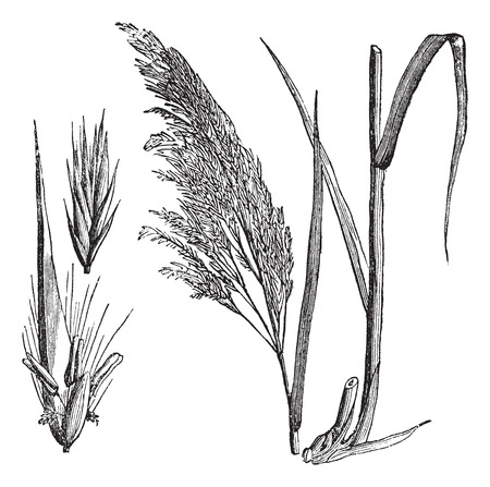 sedge: Common reed (Phragmites communis), vintage engraved illustration. Common reed, a large perennial grass. Trousset encyclopedia (1886 - 1891). Illustration