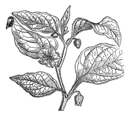 inca: Physalide Peru (Physalis peruviana) or cape gooseberry or Inca berry or golden berry or giant ground cherry or Peruvian groundcherry or Peruvian cherry or poha or ras bhari or aguaymanto or uvilla, vintage engraved illustration. Trousset encyclopedia (188