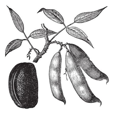 Physotigma (Physostigma venenosum) の毒やカラバル豆、ヴィンテージには図が刻まれています。Trousset 百科事典 (1886年-1891 年)。  イラスト・ベクター素材