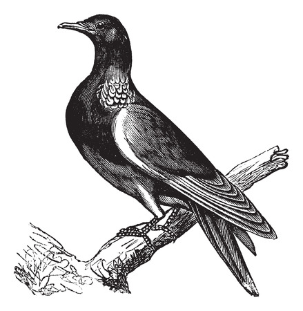 perched: Common Wood Pigeon (Columba palumbus) or Culver, vintage engraved illustration. Common wood Pigeon perched on tree trunk.Trousset encyclopedia (1886 - 1891).