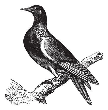 Pigeon ramier (Columba palumbus) ou Culver, illustration vintage gravé. Pigeon ramier perché sur l'arbre trunk.Trousset encyclopédie (1886-1891). Banque d'images - 37387320