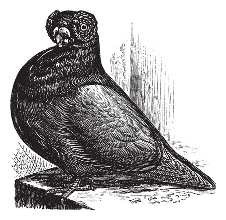 The Barb or English Barb, vintage engraved illustration. The barb, a breed of fancy pigeon. Trousset encyclopedia (1886 - 1891).