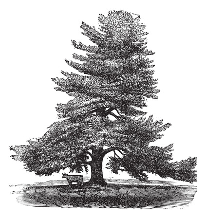 Eastern White Pine or Pinus Strobus or White Pine or Northern White Pine or Soft Pine or Weymouth Pine, vintage engraved illustration. Animal standing next to a Pinus Strobus tree. Trousset encyclopedia (1886 - 1891). Illusztráció