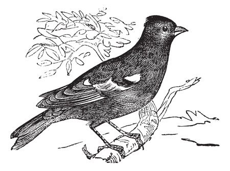 ordinary: Pinson ordinary (Fringilla coelebs) or Chaffinch,vintage engraved illustration. Chaffinch perched on tree branch. Trousset encyclopedia (1886 - 1891). Illustration