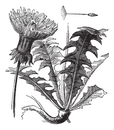 botanical drawing: Taraxacum or Dandelion, vintage engraved illustration. Dandelion with leaves on white background. Trousset encyclopedia (1886 - 1891).