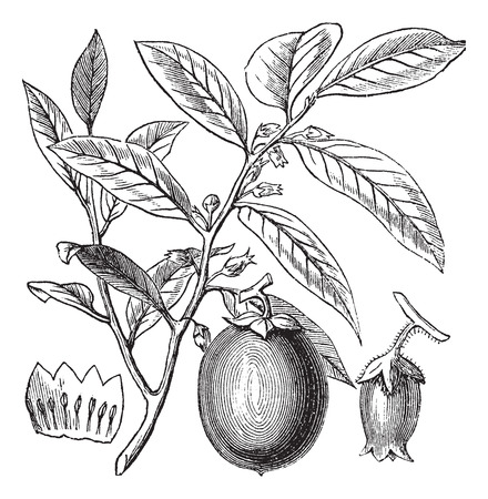 ebenaceae: American Persimmon or Diospyros virginiana, vintage engraved illustration, showing flowers and fruit. Trousset encyclopedia (1886 - 1891). Illustration