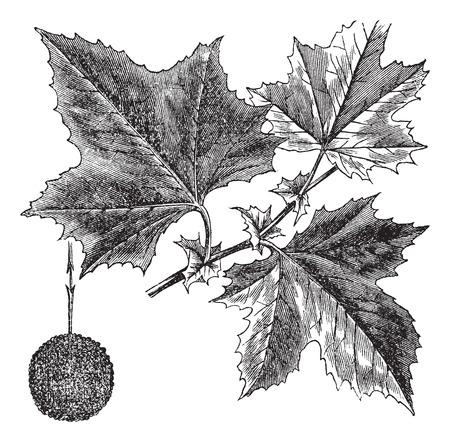 미국 플라타너스 또는 양버즘 나무, 빈티지 새겨진 그림. Trousset 백과 사전 (1886-1891). 스톡 콘텐츠 - 37387452