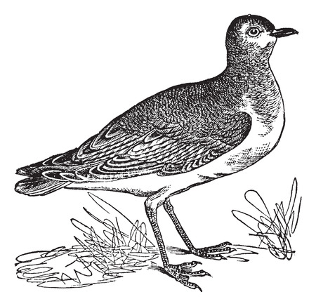 ornithological: Golden Plover or Pluvialis sp., vintage engraved illustration. Trousset encyclopedia (1886 - 1891).