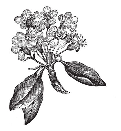 pear tree: Pear or Pyrus sp., vintage engraved illustration, showing flowers (left) and fruit (right). Trousset encyclopedia (1886 - 1891).