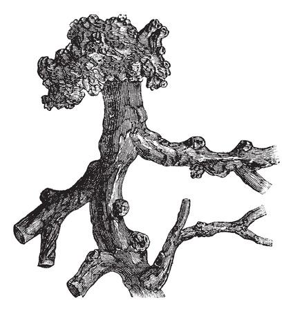 Senega Root or Polygala senega, vintage engraved illustration. Trousset encyclopedia (1886 - 1891).
