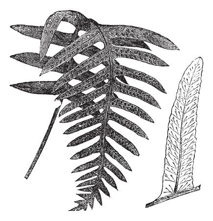 polypodiaceae: Polypody or Polypodium vulgare, vintage engraved illustration. Trousset encyclopedia (1886 - 1891). Illustration