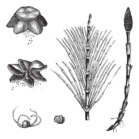 equisetum: Field Horsetail or Equisetum arvense or Common Horsetail, vintage engraving. Old engraved illustration of Field Horsetail with sterile stem and fertile stem isolated on a white background.