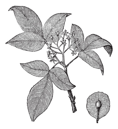 ash: Hoptree or Ptelea trifoliata or Wafer Ash, vintage engraving. Old engraved illustration of Hoptree isolated on a white background.