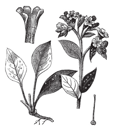 officinalis: Lung officinale (Pulmonaria officinalis), vintage engraved illustration. Trousset encyclopedia (1886 - 1891). Illustration