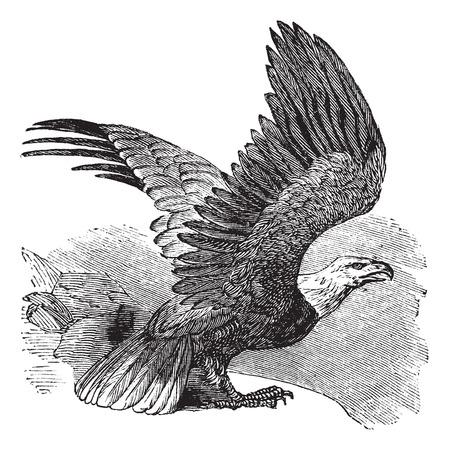 Águila calva (Haliaeetus leucocephalus), ilustración de la vendimia grabado. Águila calva en vuelo. Trousset enciclopedia (1886 - 1891).