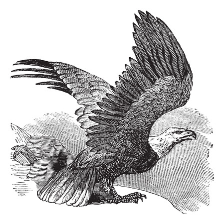 aguila calva: Águila calva (Haliaeetus leucocephalus), ilustración de la vendimia grabado. Águila calva en vuelo. Trousset enciclopedia (1886 - 1891).