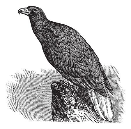 Eagle of Europe (Haliaeetus albicilla) or White-tailed Eagle or Erne or Sea-eagle, vintage engraved illustration. Trousset encyclopedia (1886 - 1891). 矢量图像