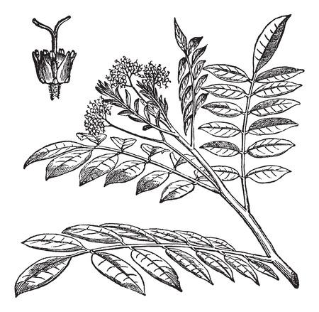 Quassia, illustration vintage gravé. Quassia laisse sur fond blanc. Trousset encyclopédie (1886-1891). Banque d'images - 37387714