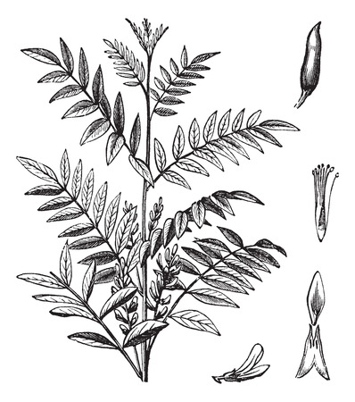 liquorice: Liquorice or Glycyrrhiza glabra or Licorice or Glycyrrhiza glandulifera, vintage engraving. Old engraved illustration of Liquorice isolated on a white background.