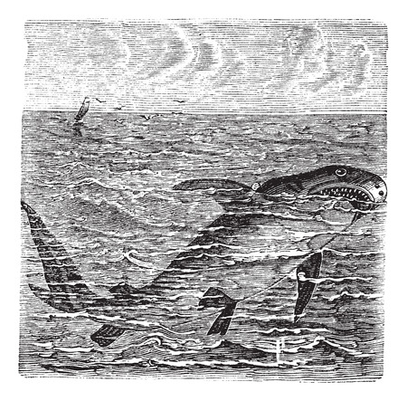 Great white shark or Carcharodon carcharias or Great white or White pointer or White shark or White death or Squalus carcharias, vintage engraving. Old engraved illustration of Great white shark in the ocean.