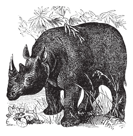 zoological: Black Rhinoceros or Diceros bicornis or Hook-lipped Rhinoceros, vintage engraving. Old engraved illustration of Black Rhinoceros in the meadow. Illustration