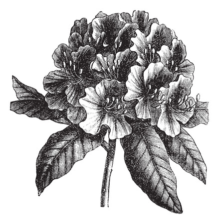 Catawba Rhododendron or Rhododendron catawbiense, vintage engraving. Old engraved illustration of Catawba Rhododendron hybrid isolated on a white background.
