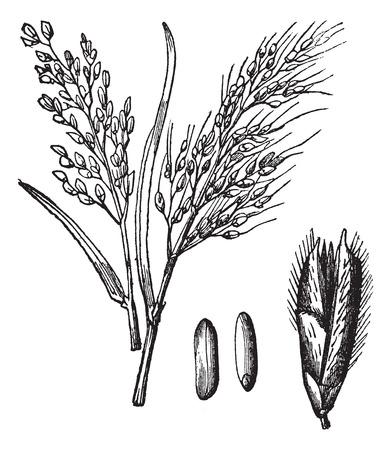 Asian Rice of Oryza sativa of Rice, vintage graveren. Oude gegraveerde illustratie van de Asian Rice rassen met zijn fruit en granen geïsoleerd op een witte achtergrond.